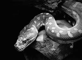 black and white reptile photography. Another Snake Shot To Black And White Reptile Photography