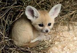 baby fennec fox. Modren Fennec This This Omgosh This Just Du0027AWWWWW Fennec Fox Baby And Baby