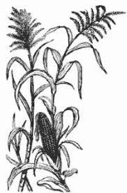 Image result for cute little corn stalk