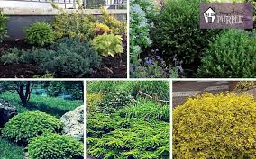 evergreen shrubs the most important