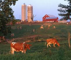 Image result for dairy cow