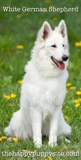 black german shepherd puppies with blue eyes.  Shepherd White German Shepherd Dogs Throughout Black Puppies With Blue Eyes E