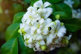 Orange Jasmine (Murraya paniculata ...