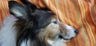 Shetland Sheepdog Sheltie Clearviews Jazz Bruce