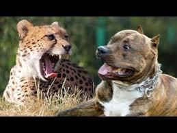 pitbull dog vs lion. Beautiful Pitbull Pit Bull Vs Cheetah Cheetah Weight 110 Lb 65 Lb Throughout Pitbull Dog Vs Lion N