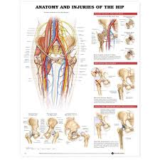 Anatomy And Injuries Of The Hip Chart Poster Laminated