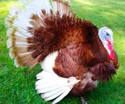 Bourbon Red Turkey Breed Information Modern Farming Methods
