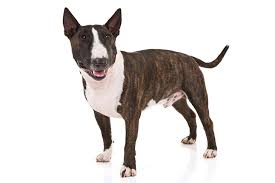 Miniature Bull Terrier Dog Breed Information