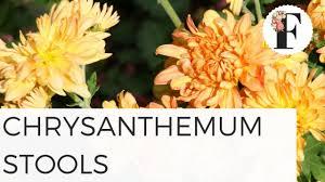 preparing chrysanthemum stools for cuttings cut flower farm gardening for beginners fall plants easy