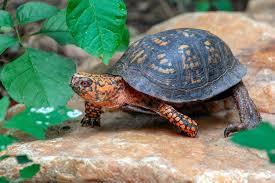 Eastern Box Turtle The Maryland Zoo