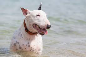 Image result for PICTURES OF BULL TERRIER DOGS