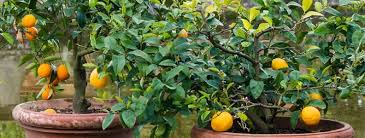 top 5 fruit trees for pots palmers
