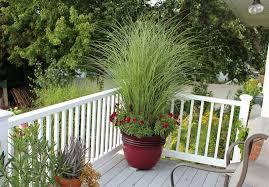 ornamental grass in pot mini