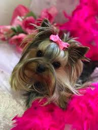 we have tiny teacup yorkie puppies and standard yorkshire terriers