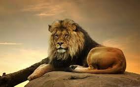 Lion Mac Wallpapers Free HD Download ...