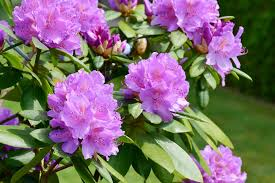 care for rhododendron and azalea bushes