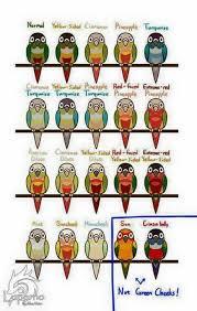 Conures Mutation Chart Conure Bird Conure Parrot Pet