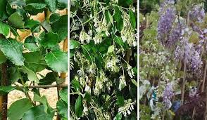 Evergreen Clematis  Flowering Vines For Yearlong Color  HGTVClimbing Plants That Like Shade