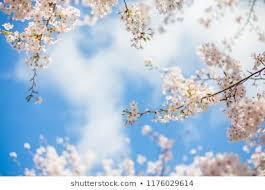 sakura cherry blossoms with blue sky