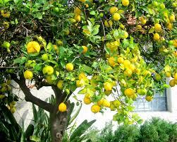 lemon tree x: why is my lemon tree dropping leaves