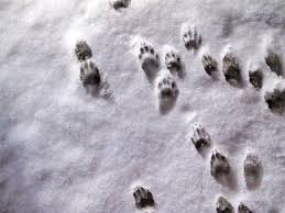Image result for raccoon tracks