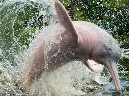 Image result for pink dolphins amazon