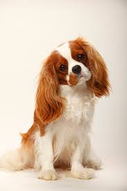 cavaliers dogs. Brilliant Cavaliers Cavalier King Charles Spaniel Dog Breed Picture Inside Cavaliers Dogs A