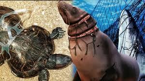 Hasil gambar untuk sampah plastik yang dimakan oleh hewan laut