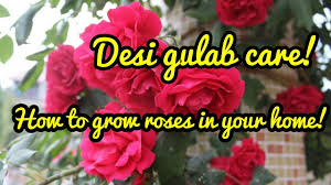 how to care for rose plant hindi container gardening