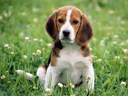 the absolutely adorable breed is rated one of the best for kid friendliness and are also one of the most por dog breeds