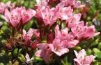 Images & Illustrations of alpine azalea