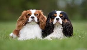 Cavalier Weight Chart Best Dog Food For Cavaliers Top Choices For 2019