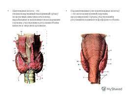 Презентация на тему Общеобразовательная школа Реферат на тему  5 Щитовидная железа это специализированный эндокринный орган