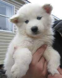 fluffy white husky puppy. Delighful White Cute Apparel And Accessories Oh Yeah Go To CuteFTWcom  Siberian Husky  Pinterest Huskies Animal Dog With Fluffy White Puppy U