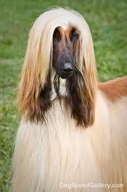 afghan hound 12