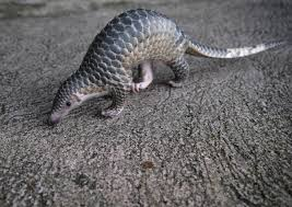 chinese manager fired for dining on pangolin while on holiday in vietnam china news asiaone