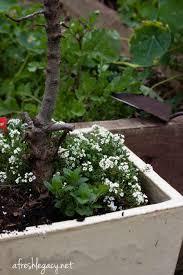 GAP Gardens  Raised Beds In Kitchen Garden With Citrus Fruit Underplanting Fruit Trees