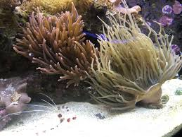 Anemone Compatibility Question Reef2reef Saltwater And