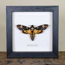Picture Frame Box Deaths Head Hawk Moth In Box Frame Acherontia Atropos