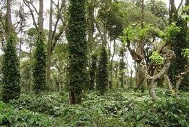 shade grown coffee plantation. Contemporary Grown Shade Grown Coffee Plantation Intended Shade Grown Coffee Plantation I