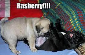Very cute pug - Mini Me Pug meme - Pug Meme, funny cute pugs via Relatably.com