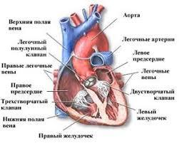 Видеоурок Строение и работа сердца Круги кровообращения   f med ru kardiol