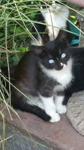 black and white kitten with blue eyes. Contemporary With 20161019_131355jpg To Black And White Kitten With Blue Eyes O