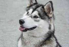 Other dogs are locked out because of destructive behavior or other bad behavior. Can Huskies Sleep Outside In Summer Here S The Answer
