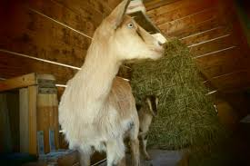 Goat Lice Biting Lice On Goats