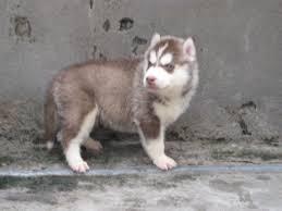 siberian husky puppies siberian husky siberian husky dog siberian husky call 91 9711410011