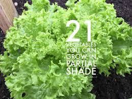Vegetable Sunlight Requirement Chart 21 Vegetables That Can Grow In Partial Shade Gardening Channel