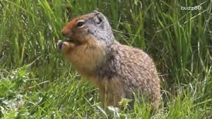 nutty squirrels terrorize residents in this city
