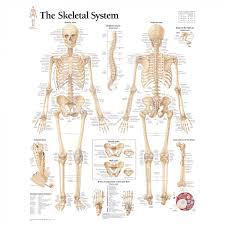 Human Bone Chart Human Skeleton Model With Skeletal System Chart