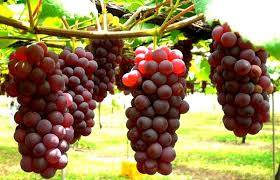 Hasil gambar untuk batang anggur